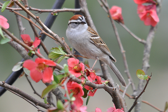 online chipping sparrow