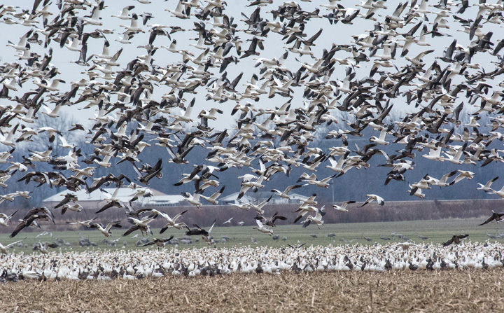 online snow geese